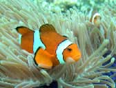Clownfish in the divesites near Phuket, Thailand